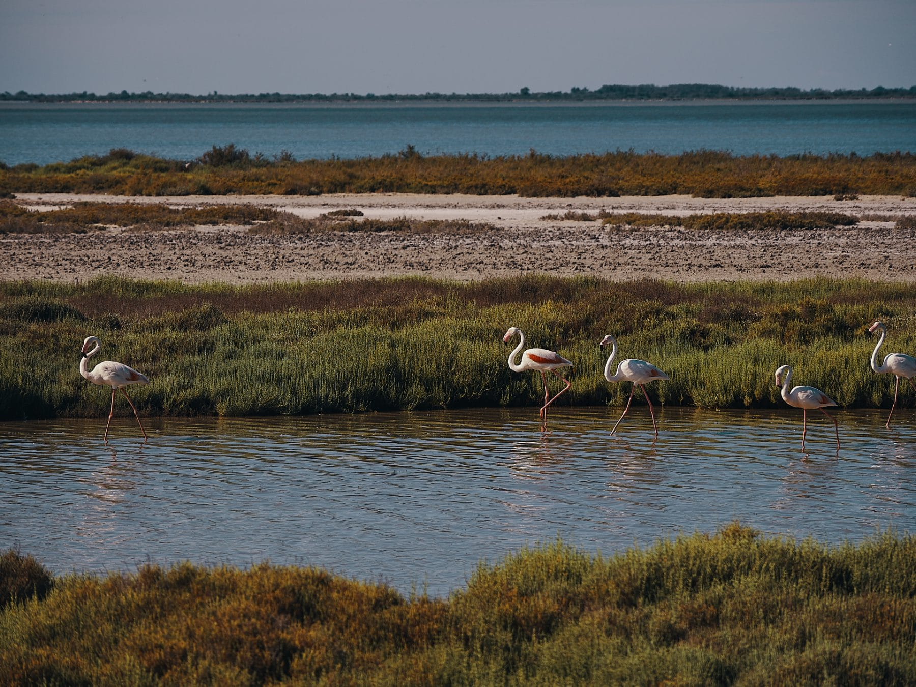 flamants roses camargue france
