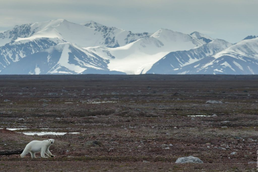 Ours polaire, Svalbard
